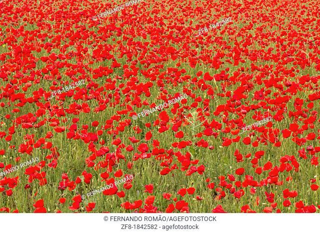 Poppy field, in the region of Serpa, Portugal