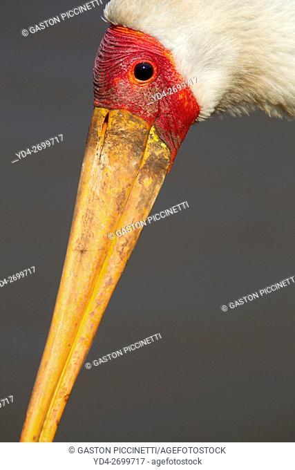 Yellowbilled Storks (Mycteria ibis), Sunset Dam, Kruger National Park, South Africa