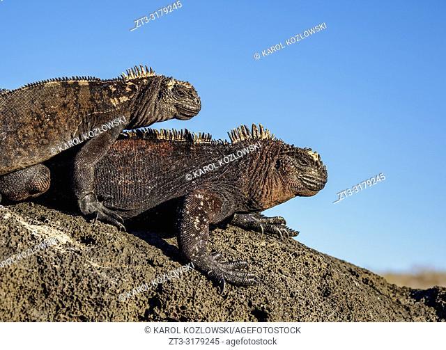 Marine iguanas (Amblyrhynchus cristatus), San Cristobal or Chatham Island, Galapagos, Ecuador