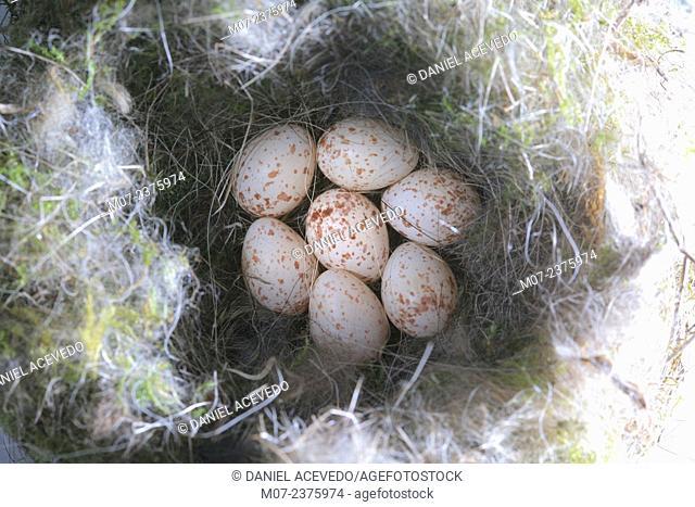 Great tit eggs, parus major nest