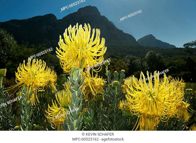 Rocket Pincushion (Leucospermum reflexum), Kirstenbosch Gardens, Table Mountain, Cape Town, South Africa