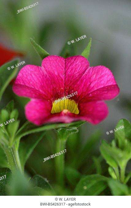 Millionbells (Callibrachoa, Callibrachoa-Hybride, Petunia-Hybride, Petunia), flower