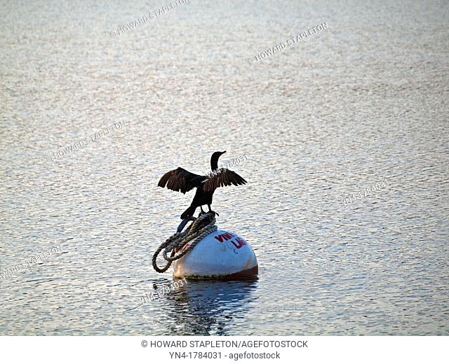 A cormorant spreads its wings and is perched on a mooring buoy in Lagoon Pond, an Atlantic Ocean inlet at Martha's Vineyard, Massachusetts