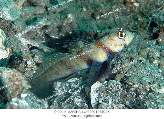 Spotted Shrimpgoby (Amblyeleotris guttata) by hole, Kareko Batu dive site, Lembeh Straits, Sulawesi, Indonesia