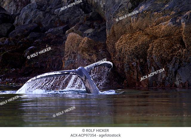 Humpback Whale (Megaptera novaeangliae) shows its fluke along the Knight Inlet shoreline, British Columbia, Canada