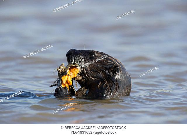 Sea otter eating a mollusk in Monterey, CA
