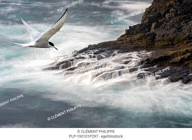 Migrating Arctic tern (Sterna paradisaea) flying over waves crashing on rocks of sea cliff in spring, Shetland Islands, Scotland, UK