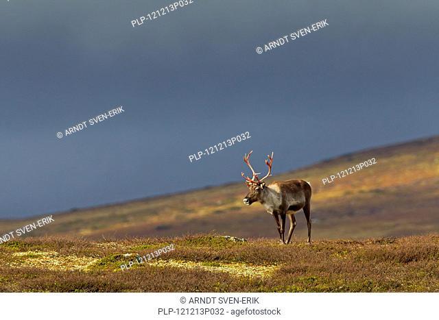 Reindeer Rangifer tarandus with bloody antlers on the tundra in autumn, Jämtland, Sweden, Scandinavia