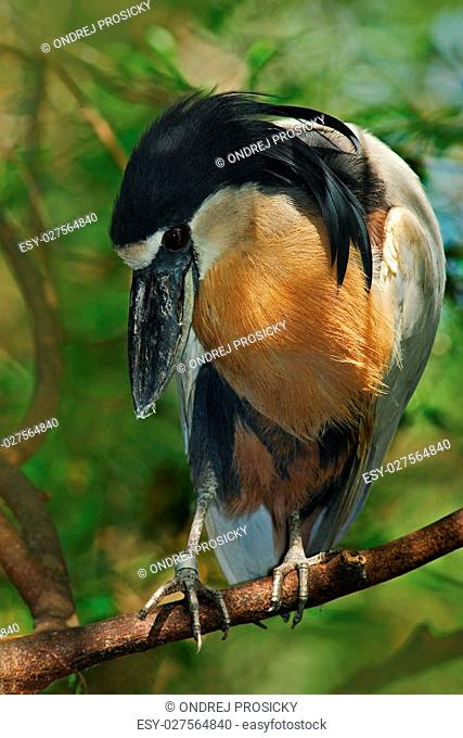 Boat-billed Heron with fish in the bill