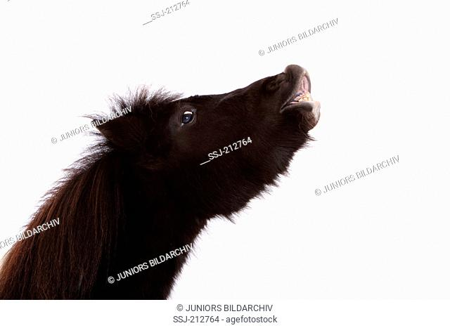 Shetland Pony. Portrait of piebald mare, doing the flehmen. Studio picture against a white background. Germany