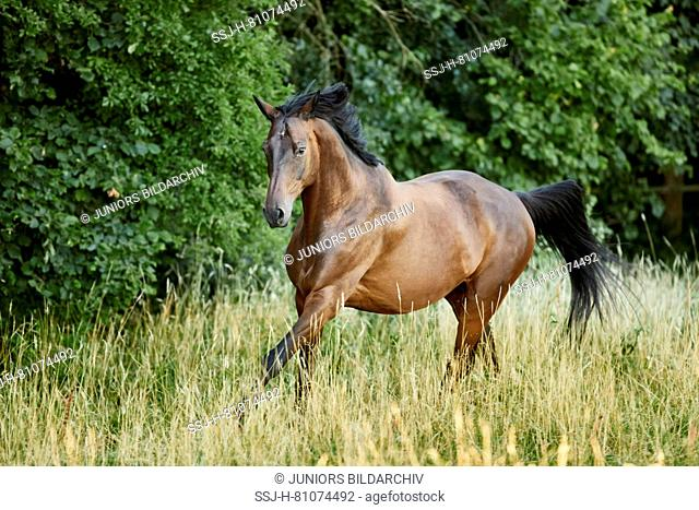 Trakehner. Bay adult galloping on a pasture. Germany