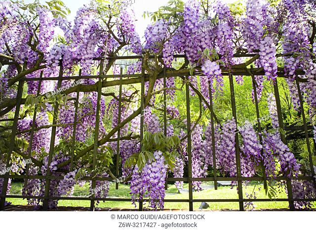 The colorful bunches of wisteria in full spring bloom