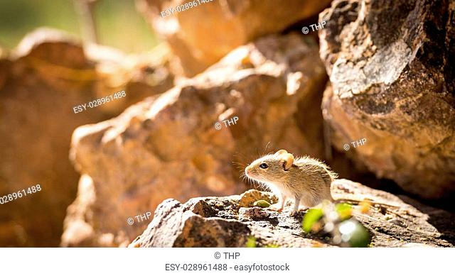 Cute striped field mouse sitting on a rock with late afternoon sun behind in Botswana, Africa