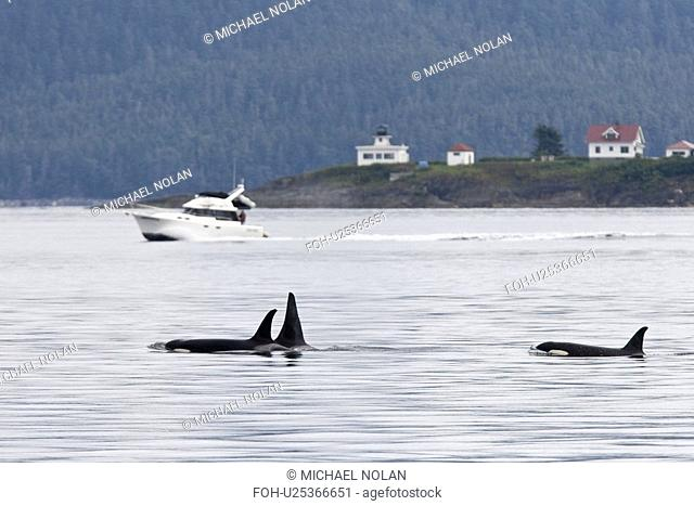 Private boat near a gathering of several Orca Orcinus orca pods in Chatham Strait, Southeast Alaska, USA. Pacific Ocean. These animals numbered in the many tens