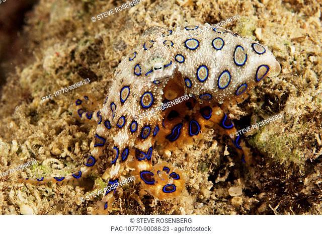 Indonesia, Sulawesi, Buton, Greater Blue-ring octopus  Hapalochiaena lunulata