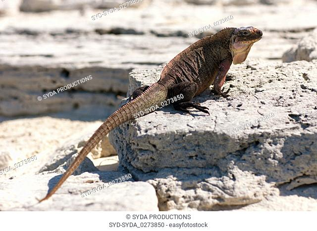 exuma island iguana in the bahamas