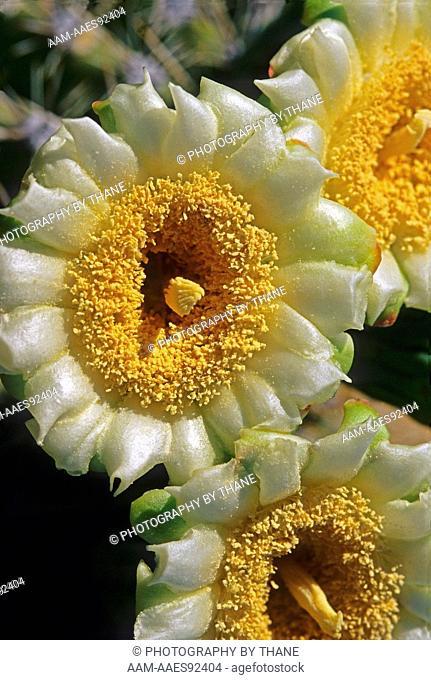 USA, Arizona, Tucson, Saguaro Blossom, (Carnegiea gigantea)                                       July