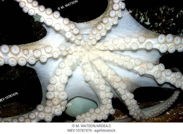 Common Octopus - showing underside, suckers and tentacles (Octopus vulgaris)