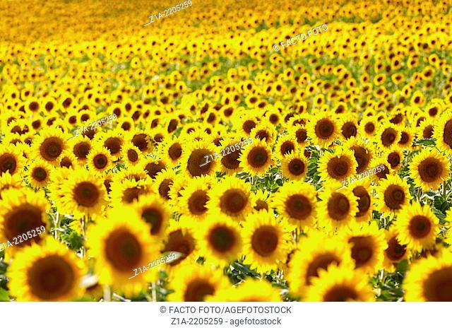 Sunflowers field. Burgos. Castile and Leon. Spain
