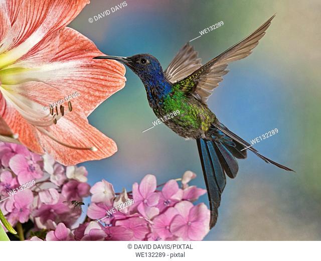 A beautiful The Swallow-Tailed Hummingbird Eupetomena macroura from the countyside of Brazil