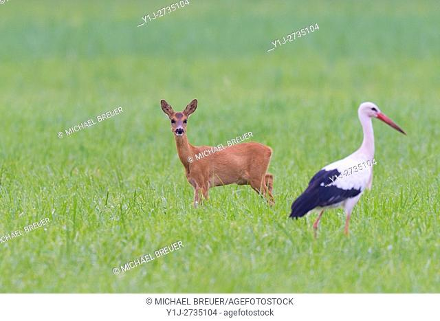 Western Roe Deer (Capreolus capreolus) and White Stork (Ciconia ciconia) on Meadow, Hesse, Germany, Europe