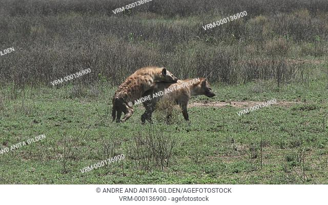 Spotted hyena copulating, walking after an other trying to mount