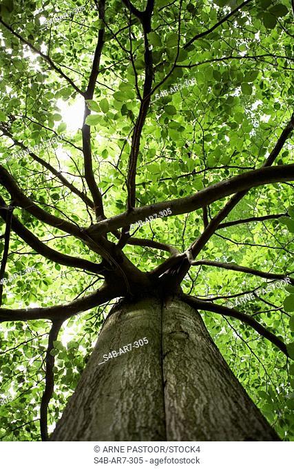 Beech tree, Germany