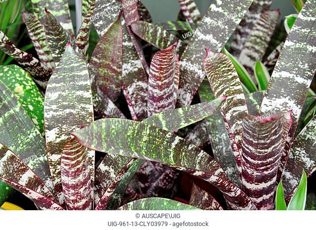 Rock bromeliads