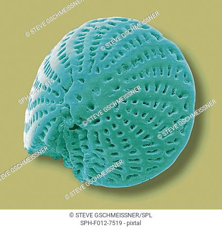 Foraminiferan. Coloured scanning electron micrograph (SEM) of a foraminiferan microfossil from maldives beach sand. Microfossils' are roughly 0