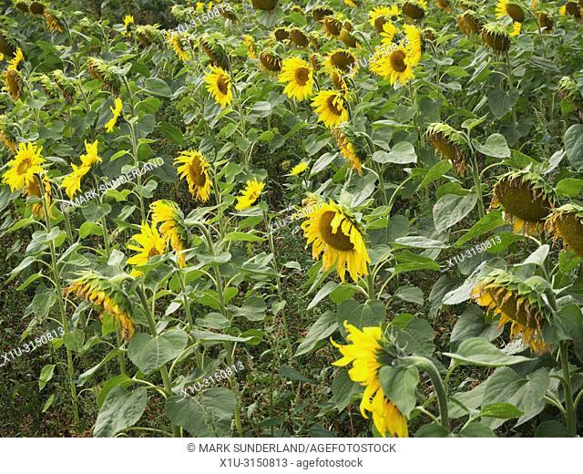 Field of sunflower plants in bloom