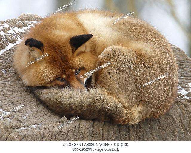 Red fox resting, Sweden