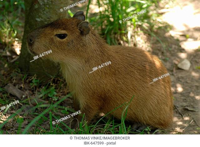 Young Capybara (Hydrochaeris hydrochaeris) resting in the shade, Gran Chaco, Paraguay, South America