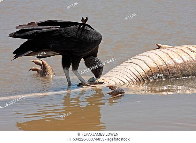 American Black Vulture Coragyps atratus adult, feeding, scavenging on Paraguayan Caiman Caiman yacare carcass floating in river, Cuiaba River, Porto Jofre