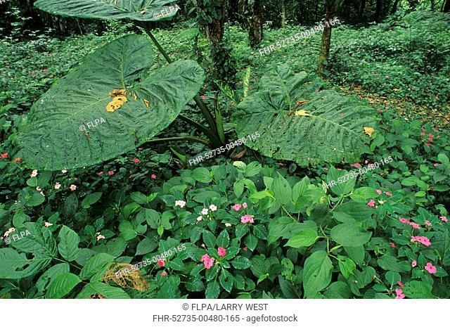 Tropical Rainforest - Umbrella plant and Impatiens in flower, Costa Rica, November