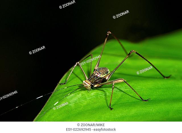 Nymph of Bush cricket