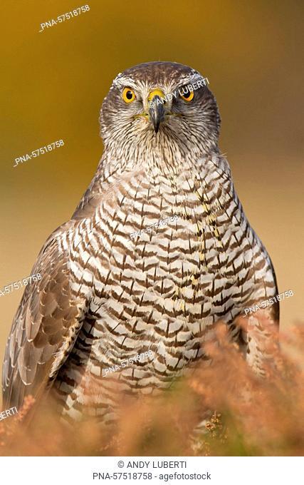 Goshawk (Accipiter gentilis), Goshawks (Accipitridae), Birds of prey, Raptors (Falconiformes), Birds (Aves), fauna - Bradgate park, Newtown Linford