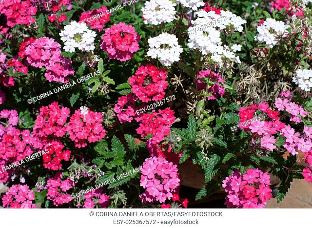 White and pink Verbena plants in bloom, in the month of May, Terracina, Lazio, Italy
