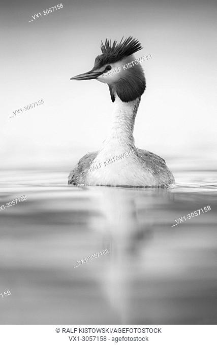 Great Crested Grebe ( Podiceps cristatus ) swimming on calm water, looks around attentively, monochrome converted, wildlife, Europe