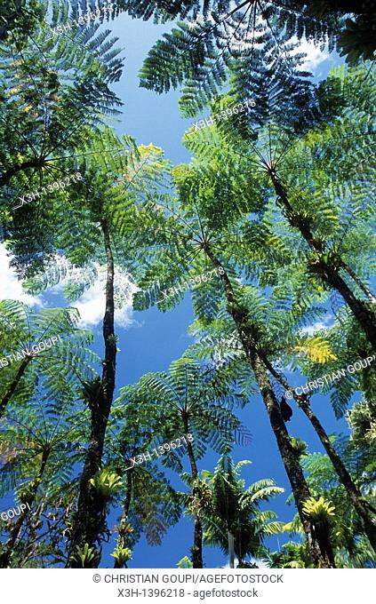 fougeres arborescentes Jardin de Balata Ile de la Martinique Departement et Region d'Outremer francais Archipel des Antilles Caraibes//fern tree Garden of...