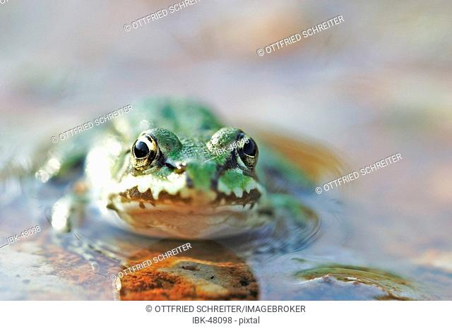 Green frog is sitinging in a puddle