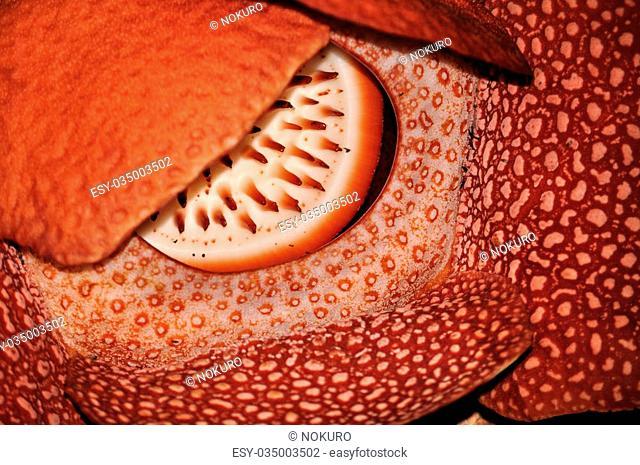Rafflesia, the biggest flower in the world , Borneo, Malaysia