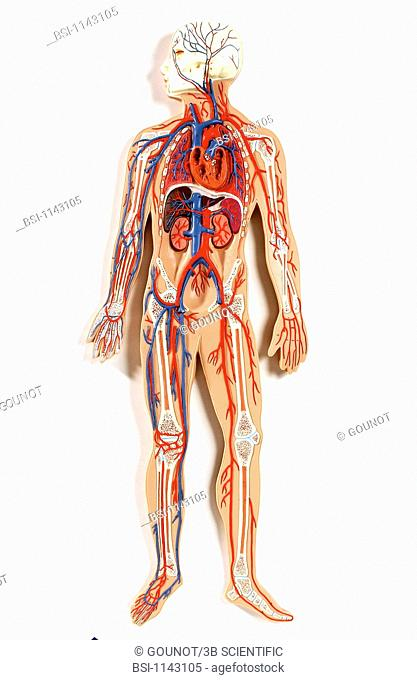 Anatomic model of the systemic blood circulation of an adult human body face on. The blood circulates in the organisme through a network carrying the oxygenated...