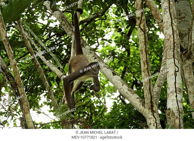 Spider Monkey - hanging by tail. (Ateles geoffroyi)