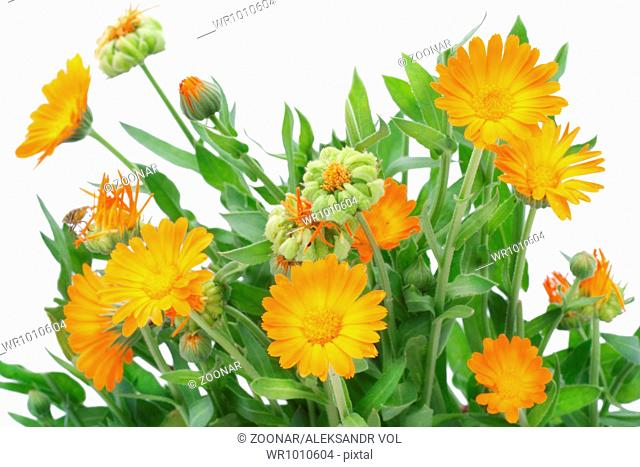 Bush of Calendula flowers