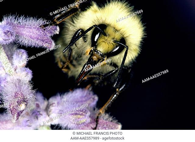 Bumble Bee (Bombus spp.), mouthpart extended, Billings, MT