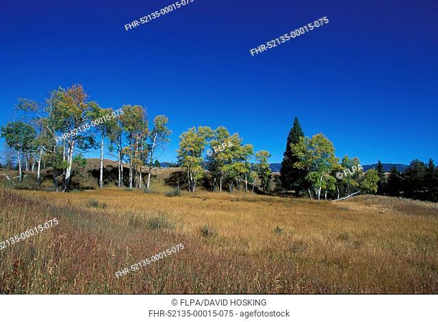 Aspen Quaking Populus tremuloides In Autumn colour, Grand Teton Nat Park, USA