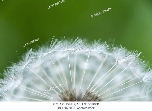 Close up of a dandelion (Taraxacum officinale) seed head, or dandelion clock, showing it's delicate cypselae