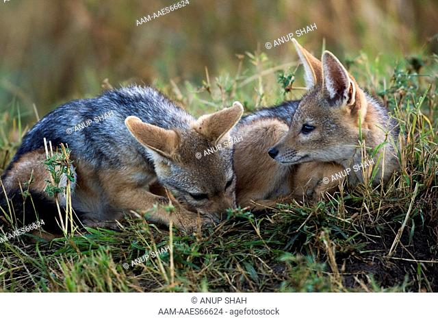 Black-backed Jackal pups playing (Canis mesomelas). Maasai Mara National Reserve, Kenya. Sep 2008