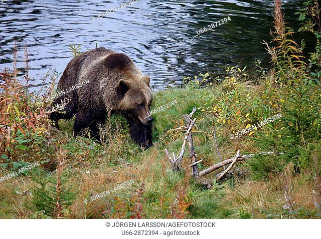 Brown bear Ursus arctos Dalarna Sweden