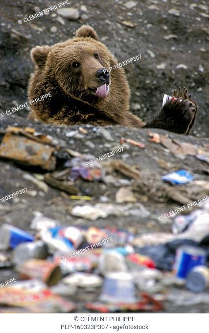 Kodiak brown bear / Alaskan grizzly bear (Ursus arctos middendorffi) feeding on household refuse at rubbish dump in Larsen Bay, Kodiak Island, Alaska, USA